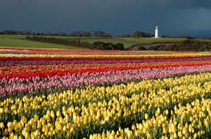 Bloomin' Tulips Festival