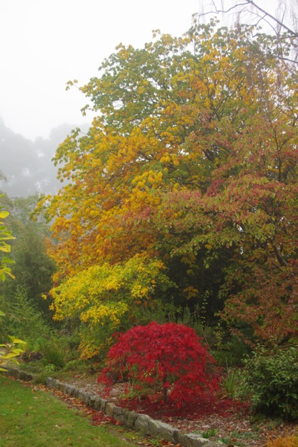 Aesculus x carnea (tall) behind Acer pictum subsp. mono (yellow) and Acer palmatum dissectum 'Garnet' (red)
