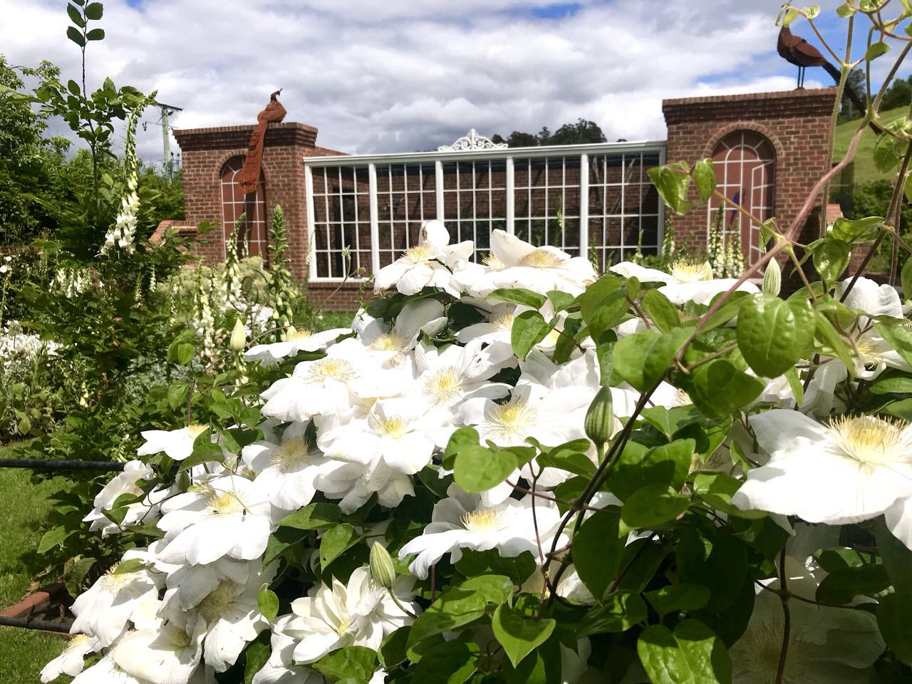 White Clematis - Old Wesley Dale