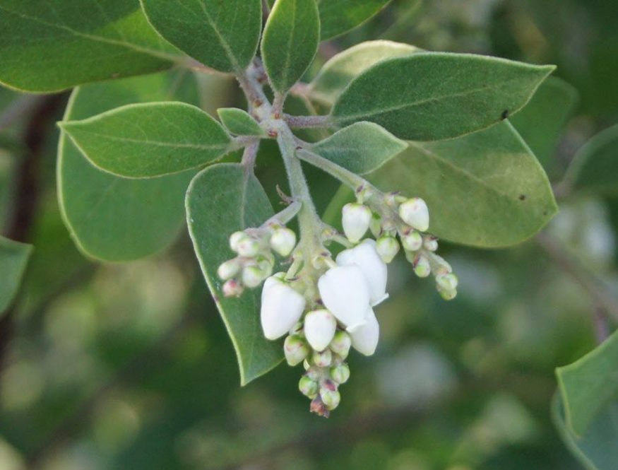 Arctostaphyllos manzanita in flower