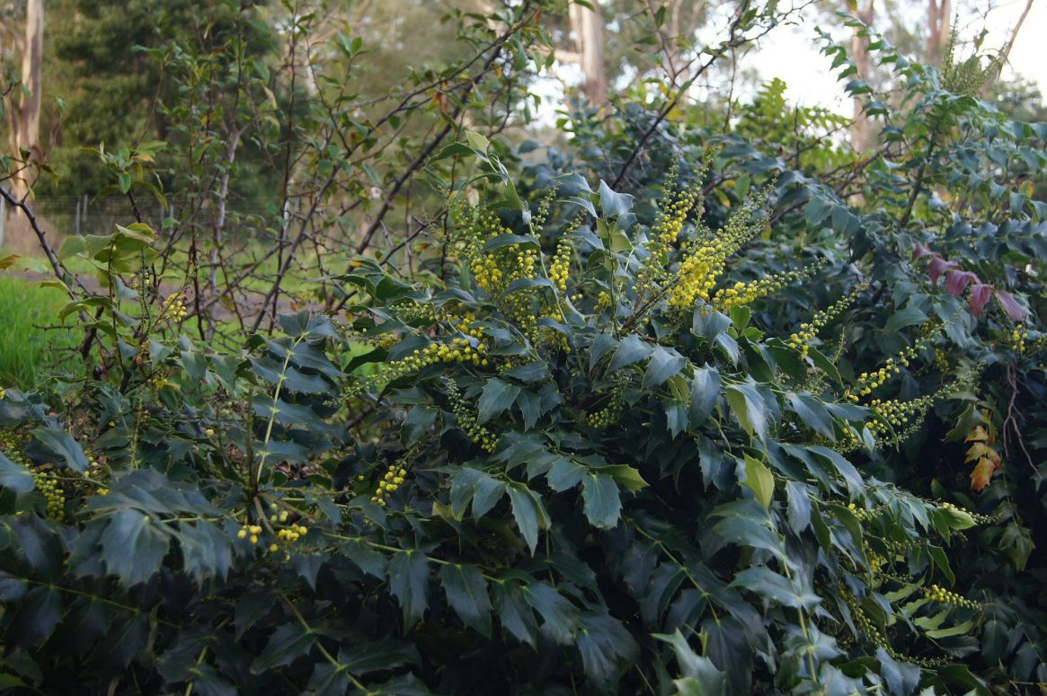 Mahonia japonica in flower in the shade